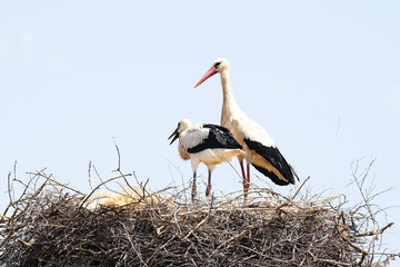 White stork with her baby on her nest