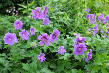 Purple geraniums with a honeybee