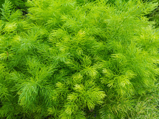 Closeup green bush of Shatavari (Asparagus racemosus Willd.)