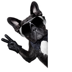 Cool french bulldog