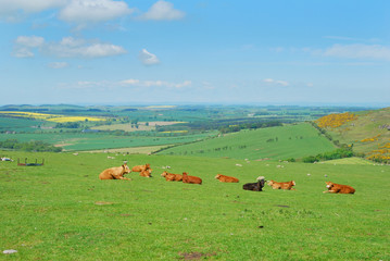 Northumberland cattle and landscape near Belford, Wooler