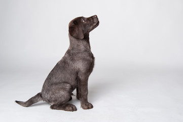 Puppy labrador retriever studio portrait on white background.
