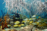 Shoal of fish under sea plume in a coral reef