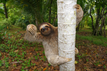 Brown-throated sloth climbs on a tree