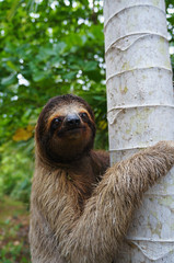Portrait of three-toed sloth climbs on a tree