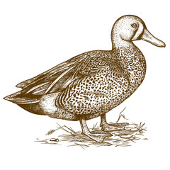 vector engraving duck on white background