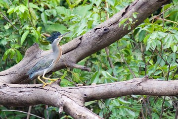 Green Heron with Crest