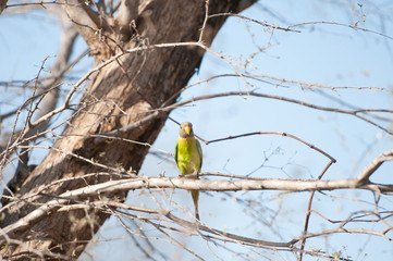 female blossom headed parakeet sitting on a tree