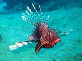 Feuerfisch im roten Meer