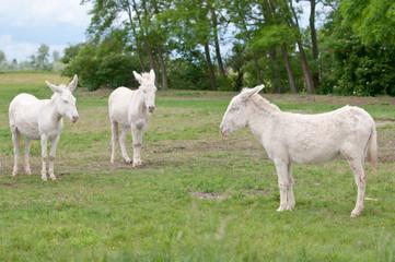 three white donkeys on the pasture