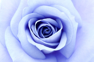 soft blue rose, close up