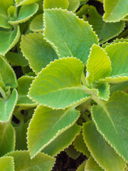 Closeup fresh green herb called Indian borage (Plectranthus ambo