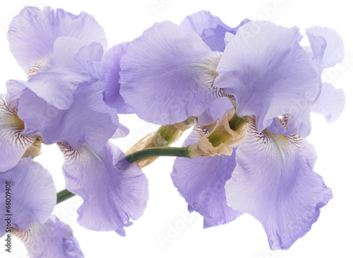 Staande foto Iris Iris
