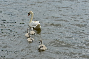 A Swan family by the side of a lake in June.