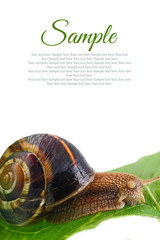 Snail on leaf with copy-space isolated on white