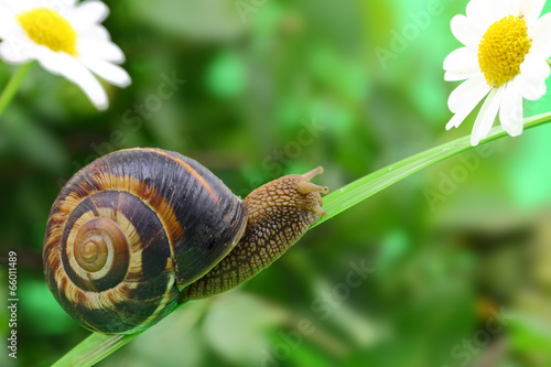 Common snail crawling on plant in garden - 66011489
