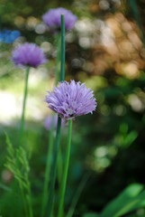 Schnittlauch Allium  schoenoprasum