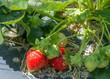 Harvest strawberry on strawberry field