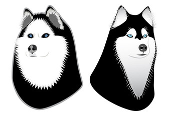 Two dogs Husky