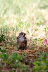 Pullo di passero in giardino