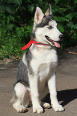 a four-month female husky puppy