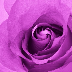 Purple Pink Rose Flower Backgound