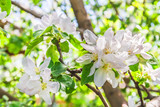Flowers of an apple tree in spring day