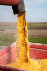 Unloading a bumper crop of corn after harvest