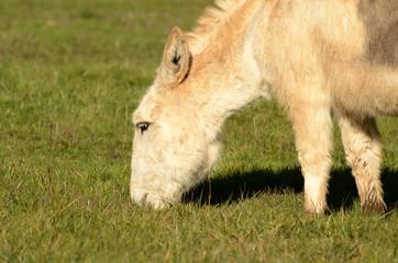 Miniature Donkey