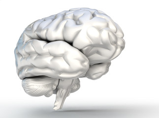 human brain model on white background