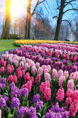 Beautiful hyacinths in park