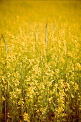 Beautiful field of yellow crop cover flowers