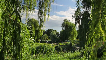Weeping willow in the park.