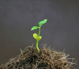 seedling Isolated on brown background