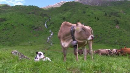 Mucche in malga