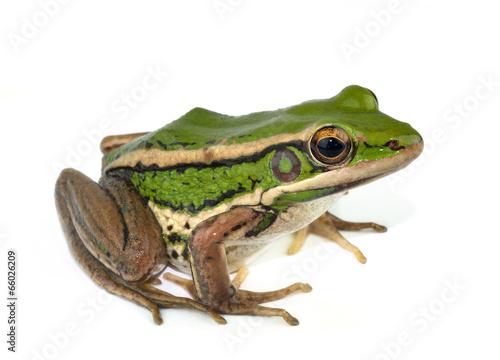 Foto op Canvas Kikker frog