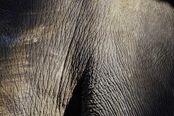 close up thai elephant skin