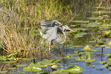 Great Blue Heron in a Marshland