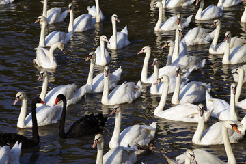 many black and white swan