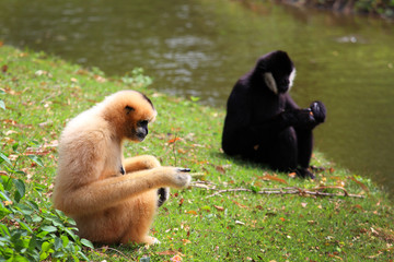 Hoolock gibbon and white cheeked gibbon