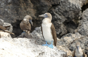 Blue Footed Booby, Galapagos Islands, Ecuador