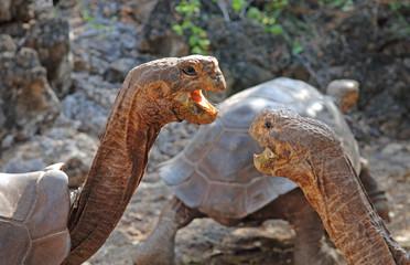 Galapagos Tortoises, Galapagos Islands, Ecuador