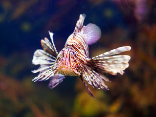 Red lionfish in sea water