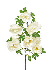 White wild rose branch