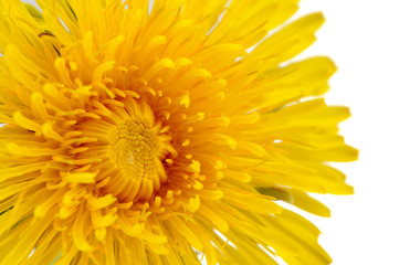 Yellow Dandelion Flower Close-Up on White Background