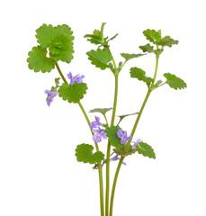 Glechoma hederacea flowers