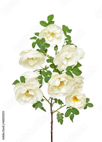 White wild rose branch