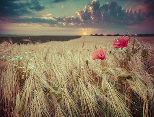 beautiful summer sunset on a wheat field with poppies and daisie