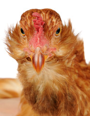 Funny Chicken Close-Up