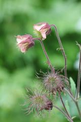 Bachnelkenwurz Blüte und Samenstand